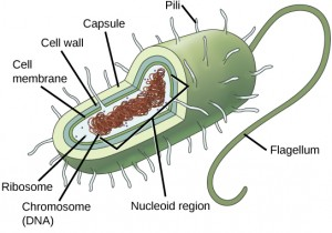 In this illustration, the prokaryotic cell has an oval shape. The circular chromosome is concentrated in a region called the nucleoid. The fluid inside the cell is called the cytoplasm. Ribosomes, depicted as small circles, float in the cytoplasm. The cytoplasm is encased in a plasma membrane, which in turn is encased by a cell wall. A capsule surrounds the cell wall. The bacterium depicted has a flagellum protruding from one narrow end. Pili are small protrusions that extend from the capsule in all directions.