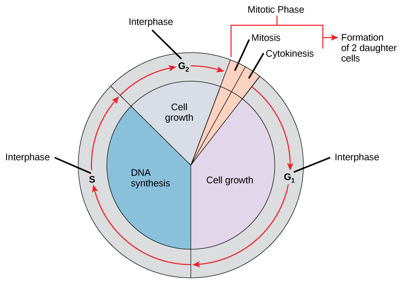 This illustration shows the cell cycle, which consists of interphase and the mitotic phase. Interphase is subdivided into G1, S, and G2 phases. Cell growth occurs during G1 and G2, and DNA synthesis occurs during S. The mitotic phase consists of mitosis, in which the nuclear chromatin is divided, and cytokinesis, in which the cytoplasm is divided resulting in two daughter cells.