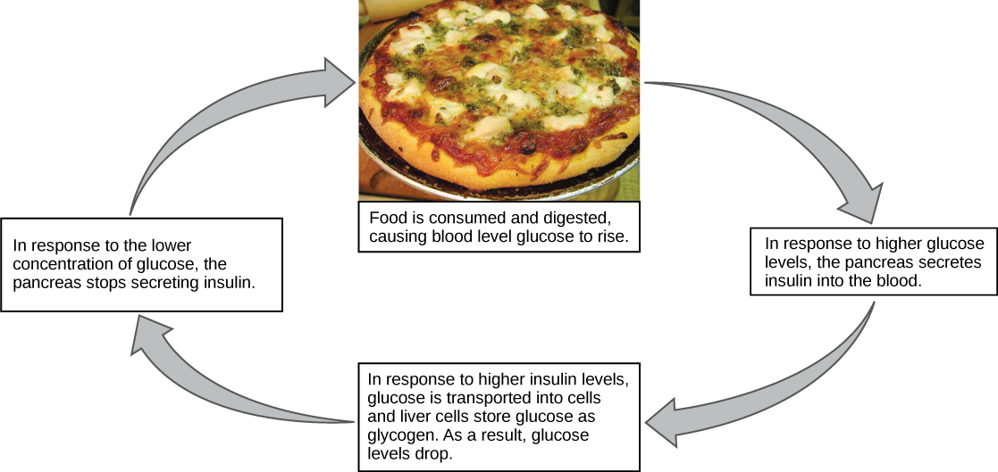 Illustration shows the response to consuming a meal. When food is consumed and digested, blood glucose levels rise. In response to the higher concentration of glucose, the pancreas secretes insulin into the blood. In response to the higher insulin levels in the blood, glucose is transported into many body cells. Liver cells store glucose as glycogen. As a result, glucose levels drop. In response to the lower concentration of glucose, the pancreas stops secreting insulin.