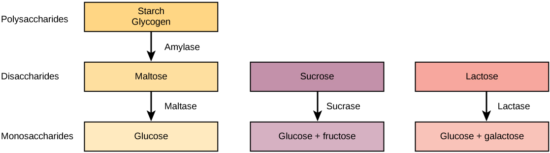 Pathways for the breakdown of starch and glycogen, sucrose, and lactose are shown. Starch and glycogen, which are both polysaccharides, are broken down by amylase into the disaccharide maltose. Maltose is then broken down by maltase into the monosaccharaide glucose. Sucrose, a disaccharide, is broken down by sucrase into the monosaccharides glucose and fructose. Lactose, also a disaccharide, is broken down by lactase into glucose and galactose.