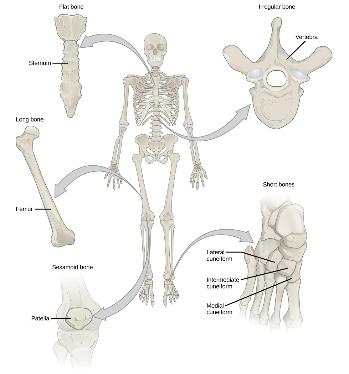 Illustration shows classification of different bone types. The sternum at the front, middle of the rib cage is a flat bone. The femur is a long bone. The patella is small and circular, and is called a sesamoid bone. The vertebrae are irregular bones, with holes in their centers and the bones of the foot are short bones, called lateral cuneiform, intermediate cuneiform, and medial cuneiform.