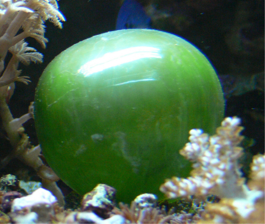 The photo shows a round, green cell with a smooth, shiny surface. The cell resembles a balloon.
