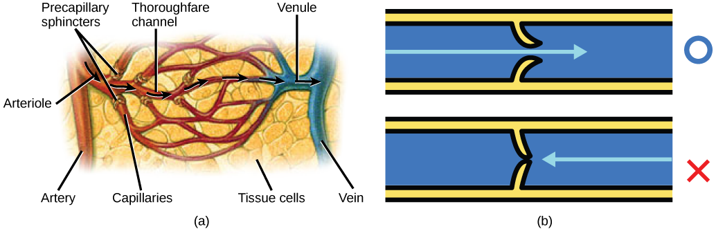 Illustration A shows an artery branching off into an arteriole, which branches into a capillary bed. The start of each capillary has a sphincter regulating flow through it. The capillaries converge into a venule, which joins a vein. Part B shows a valve in a blood vessel. The valve is slightly curved such that flow in one direction pushes it open, while flow in the other direction pushes it closed.