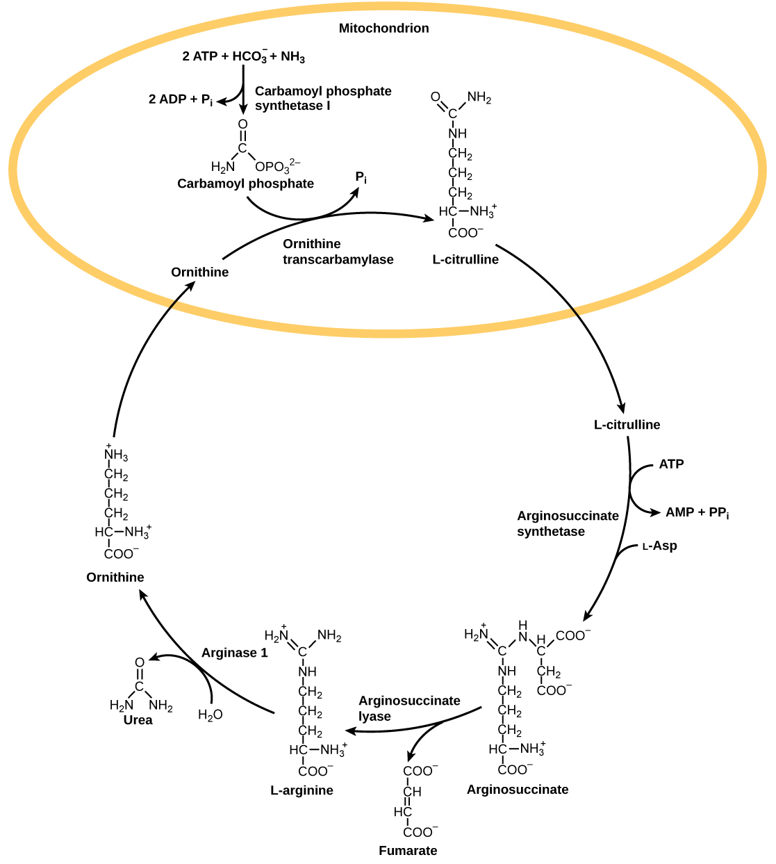 The urea cycle begins in the mitochondrion, where bicarbonate, shown as upper case H upper case C upper case O subscript 3 baseline is combined with ammonia, shown as upper case N upper case H subscript 3 baseline to make carbamoyl phosphate. Two A T P are used in the process. Ornithine transcarbamylase adds the carbamoyl phosphate to a five-carbon amino acid called ornithine to make L citrulline. L citrulline leaves the mitochondrion, and an enzyme called arginosuccinate synthetase adds a four carbon amino acid called L aspartate to it to make arginosuccinate. In the process, one A T P is converted to A M P and upper case P upper case P lower case i. Arginosuccinate lyase removes a four carbon fumarate molecule from the arginosuccinate, forming the six carbon amino acid L arginine. Arginase 1 removes a urea molecule from the L arginine, forming ornithine in the process. Urea has a single carbon double bonded to an oxygen and single bonded to two ammonia groups. Ornithine enters the mitochondrion, completing the cycle.