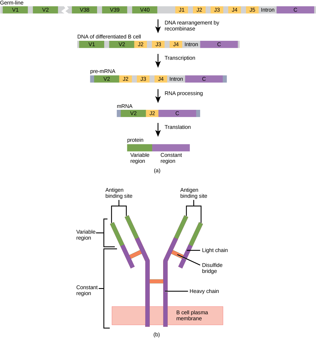 Part A shows the arrangement of gene segments encoding antibody light chains in a germ line B cell. The segment contains forty consecutive V regions, named V 1 through V 40, five consecutive J regions named J 1 through J 5, and a constant region. J5 and the constant region are separated by an intron. D N A recombinase splices out the portion of D N A containing segments V 3 through J 1, resulting in a differentiated B cell. The gene is transcribed into pre R N A. R N A processing splices out all but the V 2, J 2 and C regions. Translation results in a protein with a variable region formed from the V 2 and J 2 segments, and a constant region formed from the C region. The light chain joins the heavy chain to form a Y shaped antibody.