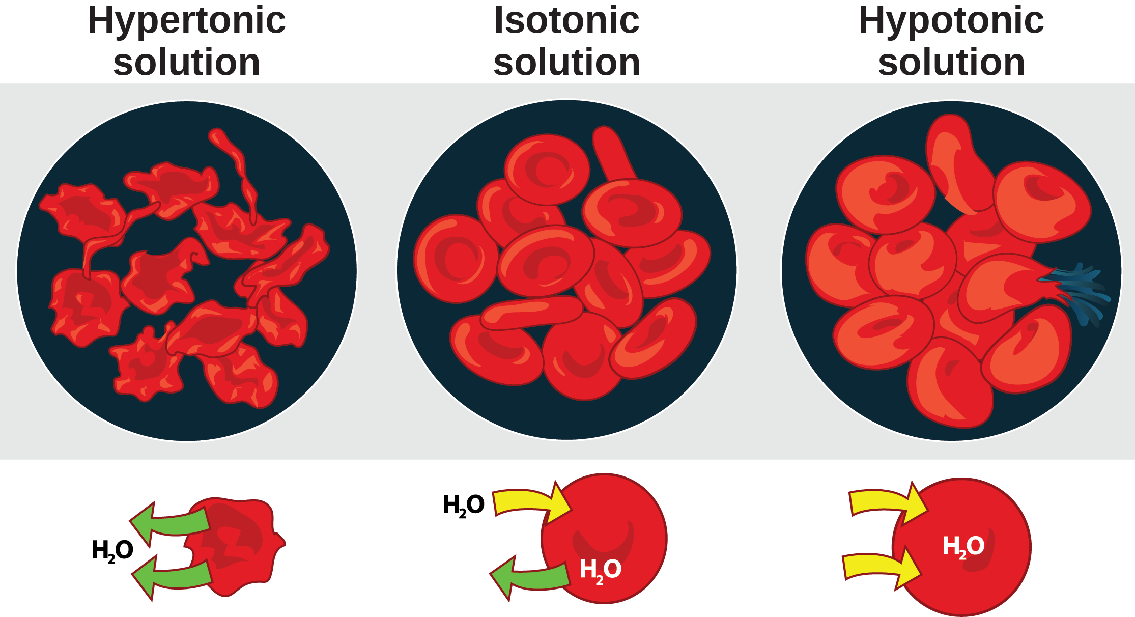The left part of this illustration shows shriveled red blood cells bathed in a hypertonic solution. Below this, an diagram shows that upper case H subscript 2 baseline upper case O is leaving the red blood cell. The middle part shows healthy red blood cells bathed in an isotonic solution. A diagram below this shows upper H subscript 2 baseline upper O both entering and exiting the cell. And the right part shows bloated red blood cells bathed in a hypotonic solution. One of the bloated cells in the hypotonic solution bursts. A diagram below this shows upper H subscript 2 baseline upper O enterning the cell.
