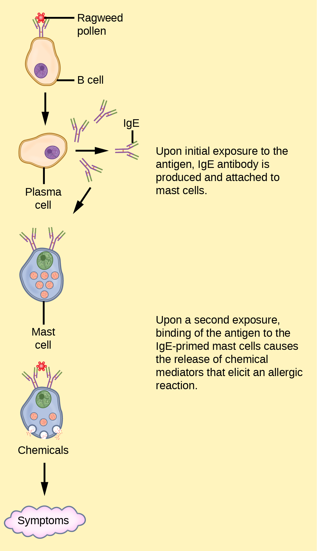 Illustration shows ragweed pollen attached to the surface of a B cell. The B cell is activated, producing plasma cells that release I g E. The I g E is presented on the surface of a mast cell. Upon a second exposure, binding of the antigen to the I g E primed mast cells causes the release of chemical mediators that elicit an allergic reaction.