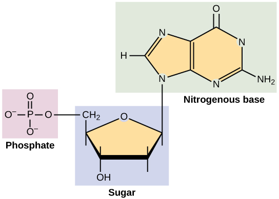 Structure of a nucleotide.