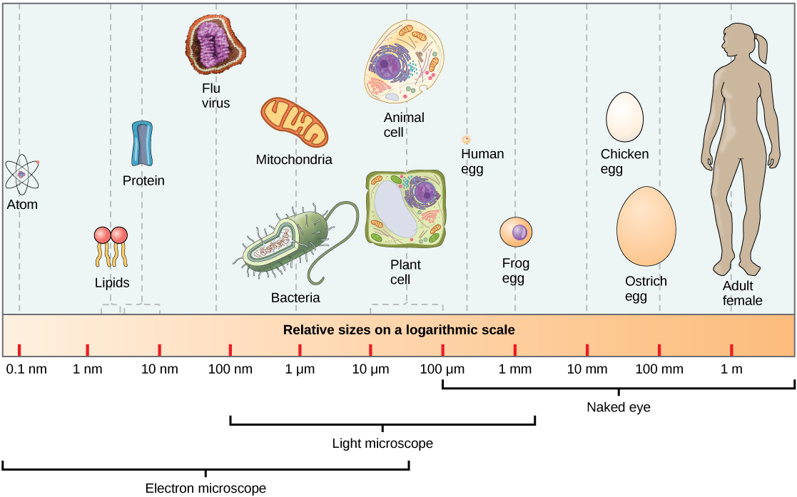 Relative sizes on a logarithmic scale, from 0.1 nm to 1 m, are shown. Objects are shown from smallest to largest. The smallest object shown, an atom, is about 1 nm in size. The next largest objects shown are lipids and proteins; these molecules are between 1 and 10 nm. Bacteria are about 100 nm, and mitochondria are about 1 µm. Plant and animal cells are both between 10 and 100 µm. A human egg is between 100 µm and 1 mm. A frog egg is about 1 mm, a chicken egg and an ostrich egg are both between 10 and 100 mm, but a chicken egg is larger. For comparison, a human is approximately 1 m tall.
