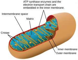 This illustration shows the structure of a mitochondrion, which has an outer membrane and an inner membrane. The inner membrane has many folds, called cristae. The space between the outer membrane and the inner membrane is called the intermembrane space, and the central space of the mitochondrion is called the matrix. ATP synthase enzymes and the electron transport chain are located in the inner membrane