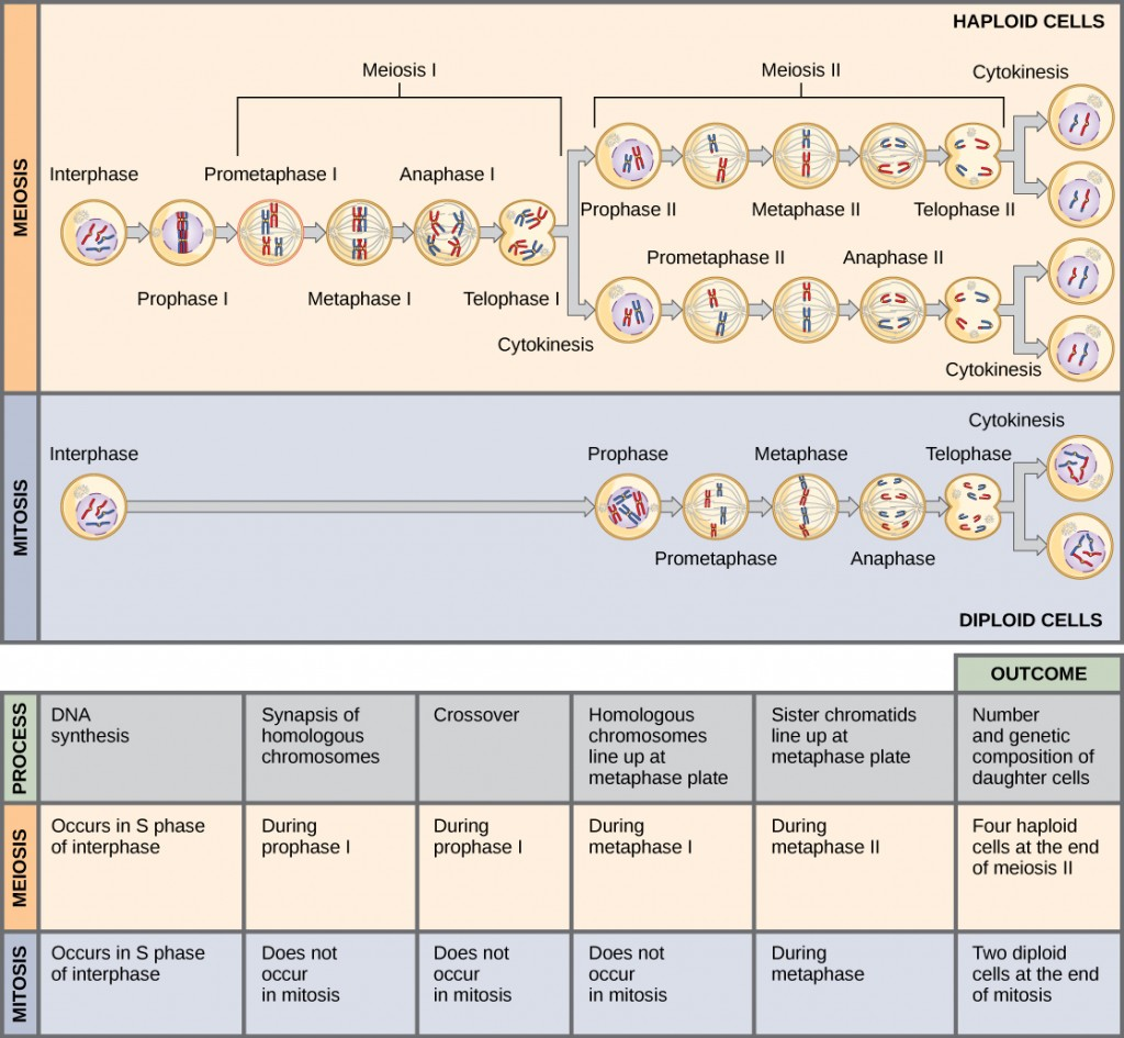 This illustration compares meiosis and mitosis. In meiosis, there are two rounds of cell division, whereas there is only one round of cell division in mitosis. In both mitosis and meiosis, DNA synthesis occurs during S phase. Synapsis of homologous chromosomes occurs in prophase I of meiosis, but does not occur in mitosis. Crossover of chromosomes occurs in prophase I of meiosis, but does not occur in mitosis. Homologous pairs of chromosomes line up at the metaphase plate during metaphase I of meiosis, but not during mitosis. Sister chromatids line up at the metaphase plate during metaphase II of meiosis and metaphase of mitosis. The result of meiosis is four haploid daughter cells, and the result of mitosis is two diploid daughter cells.