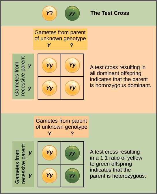 In a test cross, a parent with a dominant phenotype but unknown genotype is crossed with a recessive parent. If the parent with the unknown phenotype is homozygous dominant, all the resulting offspring will have at least one dominant allele. If the parent with the unknown phenotype is heterozygous, 50 percent of the offspring will inherit a recessive allele from both parents and will have the recessive phenotype.