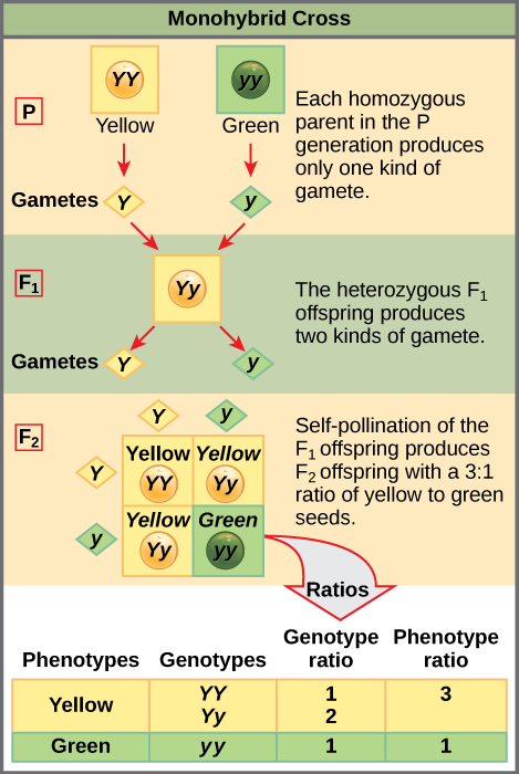 A test cross can be performed to determine whether an organism expressing a dominant trait is a homozygote or a heterozygote.