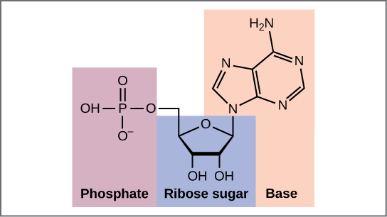 (a) Each DNA nucleotide is made up of a sugar, a phosphate group, and a base.