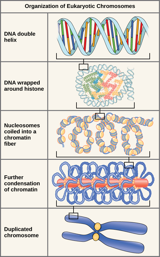 Illustration shows levels of organization of eukaryotic chromosomes, starting with the DNA double helix, which wraps around histone proteins. The entire DNA molecule wraps around many clusters of histone proteins, forming a structure that looks like beads on a string. The chromatin is further condensed by wrapping around a protein core. The result is a compact chromosome, shown in duplicated form.