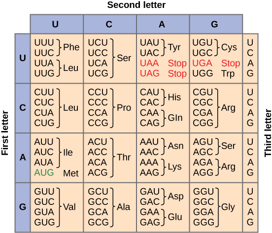 Figure shows all 64 codons. Sixty-two of these code for amino acids, and three are stop codons shown in red. The start codon, AUG, is colored green.