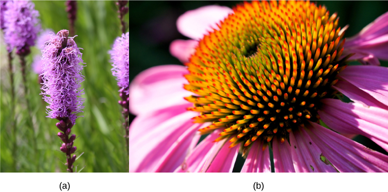 Photo showing a Dense Blazing Star (Liatrus spicata) and a Purple Coneflower (Echinacea purpurea). The dense blazing star flower has purple strand like petals budding from its stem. The coneflower has a large circular center of the budding flower, with purple petals growing from it.