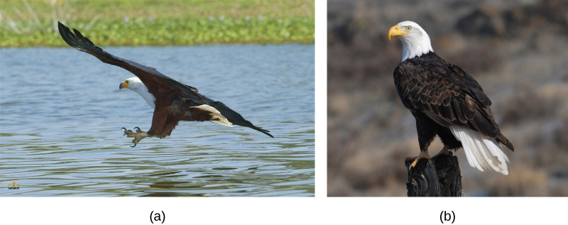 Photo a shows a picture of the African fish eagle in flight, and photo b shows the bald eagle perched on a post. Both birds have dark brown feathers on their bodies and wings, and white feathered heads.