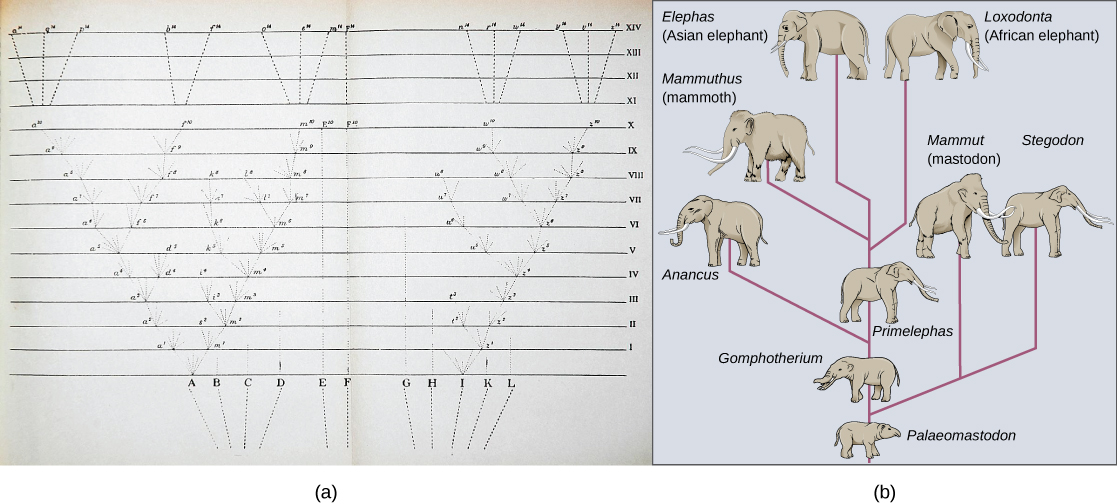 Image (a) shows a sketch of lines branching into a tree shape. At the bottom are 11 vertical lines labeled A through L. These then are branched out as they move up across the page through fourteen rows labeled with Roman numerals. Some branches make a straight line from the bottom row to the top row, others keep branching out further at each row, and some are straight partway through the rows until they connect to an existing branch or form no connection and instead stop. The top four rows each consists of a single line from a branch tip; there are 6 branch tips at row X I; to one of 15 individual final designations. Illustration B shows the evolution of modern African and Asian elephants from a common ancestor, the Palaeomastodon. The Palaeomastodon was similar to modern elephants; however, it was smaller and had a long nose instead of a trunk. Side branches of the elephant evolutionary tree gave rise to mastodons and mammoths. The mammoth is more closely related to modern elephants than the mastodon.