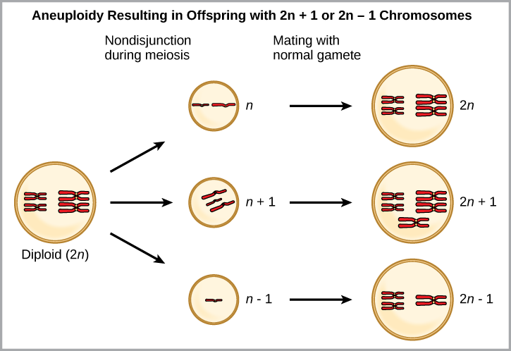 Aneuploidy results when chromosomes fail to separate correctly during meiosis. As a result, one gamete has one too many chromosomes, shown as n plus 1, and the other has one too few, shown as n minus 1. When the n + 1 gamete fuses with a normal gamete, the resulting zygote has 2 n + 1 chromosomes. When the n minus 1 gamete fuses with a normal gamete, the resulting zygote has 2 n minus 1 chromosomes.