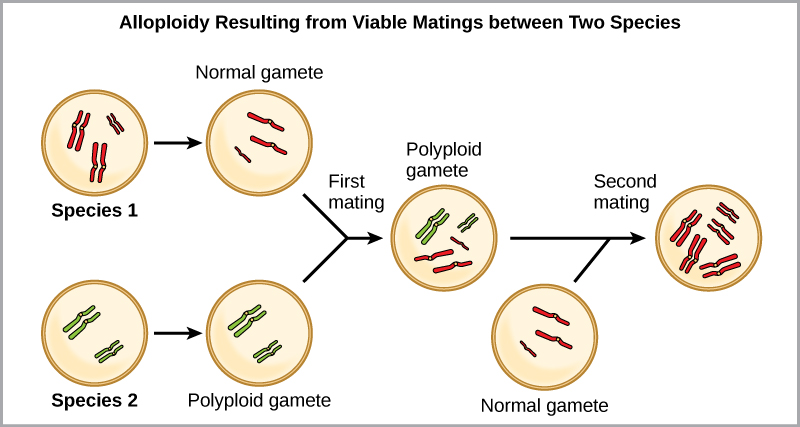 Alloploidy results from viable matings between two species with different numbers of chromosomes. In the example shown, species one has three pairs of chromosomes, and species two has two pairs of chromosomes. When a normal gamete from species one (with three chromosomes) fuses with a polyploidy gamete from species two (with two pairs of chromosomes), a zygote with seven chromosomes results. An offspring from this mating produces a polyploid gamete, with seven chromosomes. If this polyploid gamete fuses with a normal gamete from species one, with three chromosomes, the resulting offspring will have ten viable chromosomes.