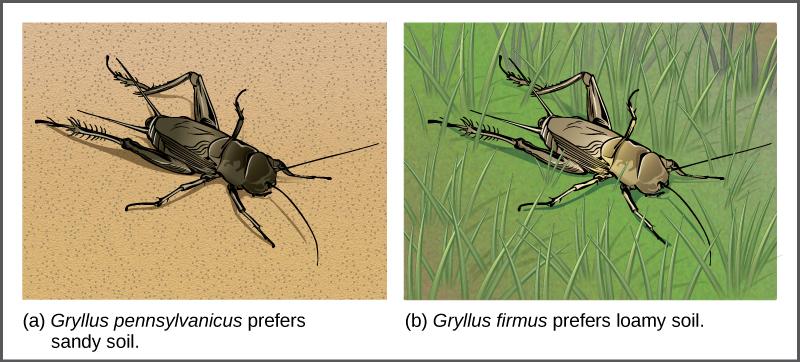 Illustration A shows the black Gryllus pennsylvanicus cricket on sandy soil, and illustration B shows the beige Gryllus firmus cricket in grass.