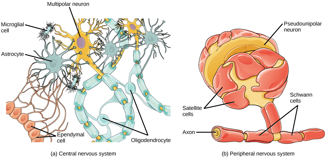 Illustration A shows various types of glial cells surrounding a multipolar nerve of the central nervous system. Oligodendrocytes have an oval body and protrusions that wrap around the axon. Astrocytes are round and slightly larger than neurons, with many extensions projecting outward to neurons and other cells. Microglia are small and rectangular, with many fine projections. Ependymal cells have small, round bodies lined up in a row. Long extensions connect from the ependymal cells to an astrocyte. Illustration B shows a pseudounipolar cell of the peripheral nervous system. Schwann cells wrap around the branched axon, and satellite cells surround the neuron cell body.