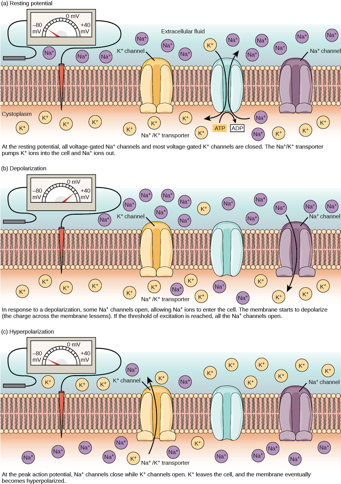 The resting membrane potential of minus seventy volts is maintained by a sodium/potassium transporter that transports sodium ions out of the cell and potassium ions in. Voltage gated sodium and potassium channels are closed. In response to a nerve impulse, some sodium channels open, allowing sodium ions to enter the cell. The membrane starts to depolarize; in other words, the charge across the membrane lessens. If the membrane potential increases to the threshold of excitation, all the sodium channels open. At the peak action potential, potassium channels open and potassium ions leave the cell. The membrane eventually becomes hyperpolarized.