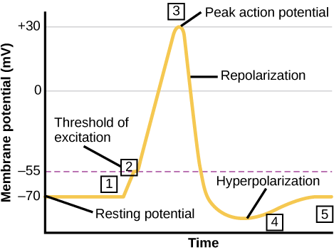Graph plots membrane potential in millivolts versus time. The membrane remains at the resting potential of negative 70 millivolts until a nerve impulse occurs in step 1. Some sodium channels open, and the potential begins to rapidly climb past the threshold of excitation of negative 55 millivolts, at which point all the sodium channels open. At the peak action potential, the potential begins to rapidly drop as potassium channels open and sodium channels close. As a result, the membrane repolarizes past the resting membrane potential and becomes hyperpolarized. The membrane potential then gradually returns to normal.