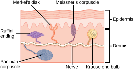 Illustration shows the location of various mechanoreceptors in a cross section of the epidermis and dermis. A nerve runs along the middle of the dermis, and all the mechanoreceptors are connected to it. Ruffini endings, Merkel's disks, and Meissners corpuscles are all located in the upper dermis above the nerve. Ruffini endings are bulbous, horizontal mechanoreceptors located in the middle of the upper dermis. Meissners corpuscles are bulbous, vertical mechanoreceptors that touch the bottom of the epidermis. Merkels disks have finger-like projections that also touch the bottom of the epidermis. The last type of mechanoreceptor, Pacini corpuscles, are oval mechanoreceptors located in the lower dermis.