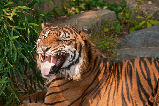 Photo shows a tiger snarling.