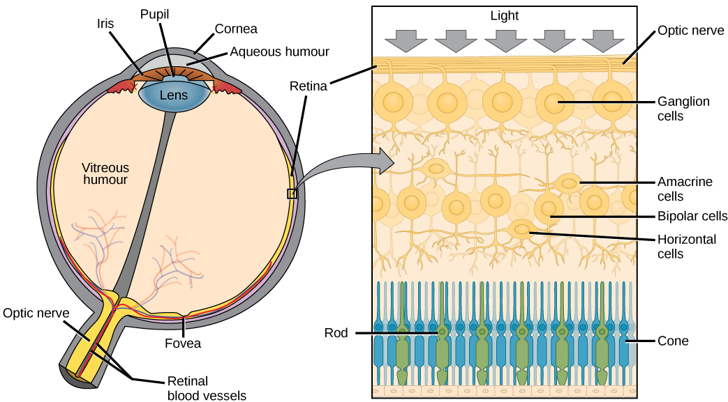 The left illustration shows a human eye, which is round and filled with vitreous humour. The optic nerve and retinal blood vessels exit the back of the eye. At the front of the eye is the lens with a pupil in the middle. The lens is covered by the iris, which in turn is covered by the cornea, which is a convex bump protruding from the eye. The aqueous humour is a gel-like substance between the cornea and iris. The retina is the lining of the inner eye. A second illustration is a blowup which shows that the optic nerve is at the surface of the retina. Beneath the optic nerve is a layer of ganglion cells, and beneath this is a layer of bipolar cells. Both ganglia and bipolar cells are nerve cells with root-like appendages. Beneath the bipolar cell layer are the rods and cones. Rods and cones are similar in structure and column-like.