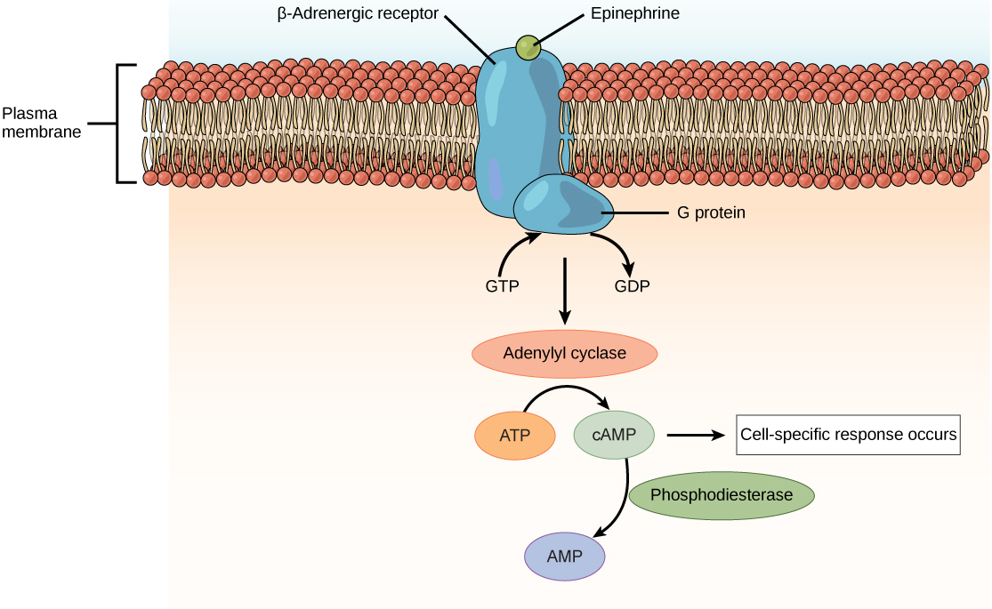 Illustration shows epinephrine bound to the extracellular surface of a beta-adrenergic receptor. A G-protein associated with the intracellular surface of the receptor is activated when the G D P associated with it is replaced with G T P. The G protein activates the enzyme adenylyl cyclase, which converts A T P to lower case c upper case A M P, triggering a cellular response.