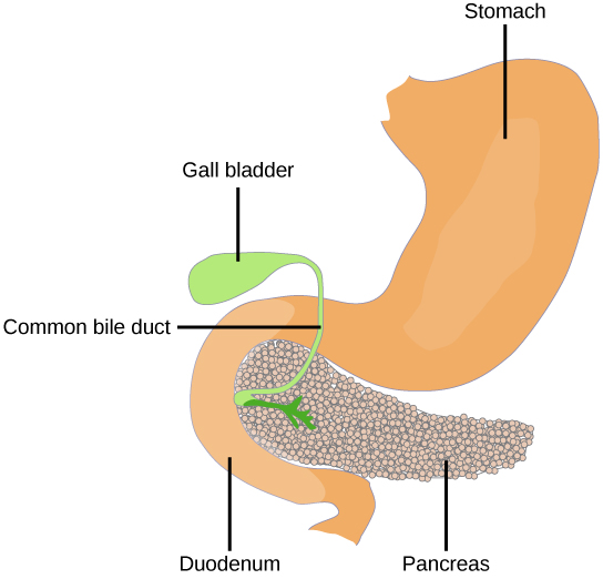 The pancreas is a grainy, teardrop-shaped organ tucked between the stomach and intestine.  A common bile duct extends from the pancreas to a small pouch like structure called a gall bladder.