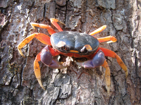 Photo shows a crab with orange legs and a black body crawling on a tree.