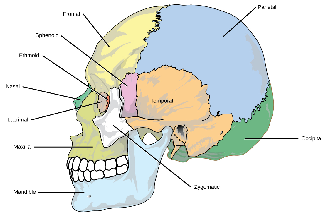 The eight cranial bones of the skull are shown. The mandible is the lower jaw bone. The maxilla is superior to the mandible, comprising the upper lip and side of the nasal region. The nasal bone is anterior. The lacrimal surrounds the eye socket. The ethmoid is anterior to the lacrimal. The frontal bone is large, and takes up the forehead region. The zygomatic is lateral to the eye socket, and the sphenoid is just behind it. The temporal bone makes up much of the side of the skull. The parietal is large, taking up much of the top and rear portions of the skull. The occipital bone makes up the lower back of the skull.