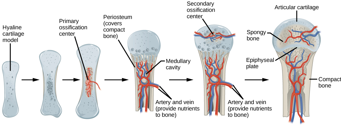 Illustration shows bone growth, which begins with a hyaline cartilage model that has the appearance of a small bone. A primary ossification center forms in the center of the narrow part of the bone, and a bone collar forms around the outside. The periosteum forms around the outside of the bone. Next, blood vessels begin to form in the bone and secondary ossification centers form in the epiphyses. The primary ossification center hollows out to form the medullary cavity, and an epiphyseal plate grows, separating the epiphyses from the diaphysis.