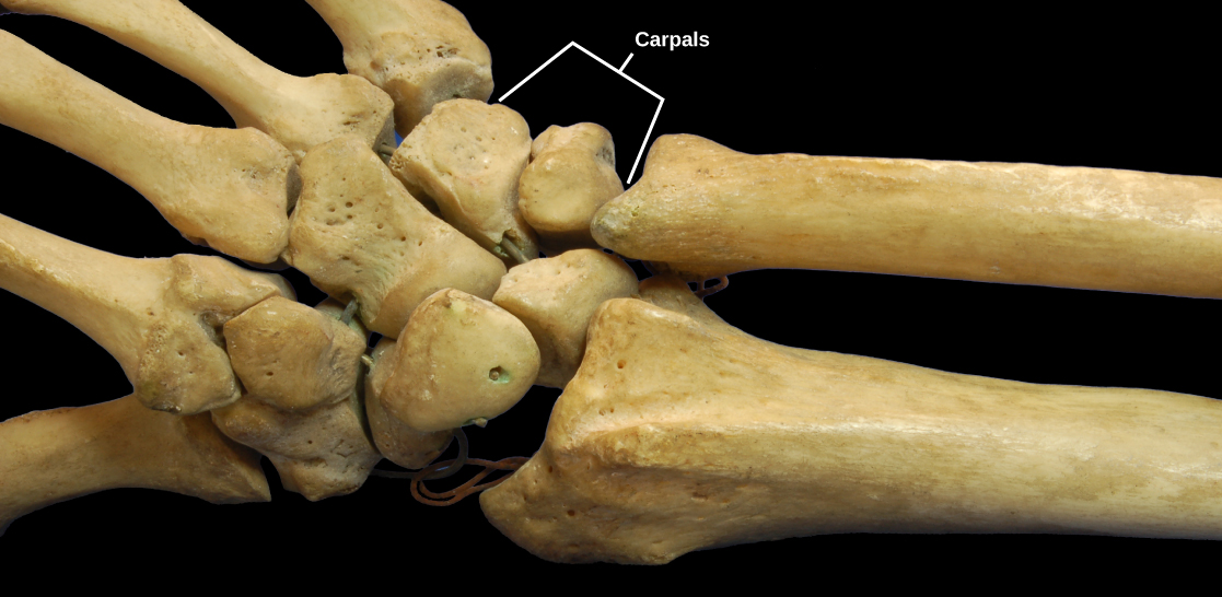 Photo shows a human hand skeleton. The radius and ulna of the forearm connect to several small, knobby bones in the wrist called carpals. Carpals, in turn, connect to bones in the wrist.