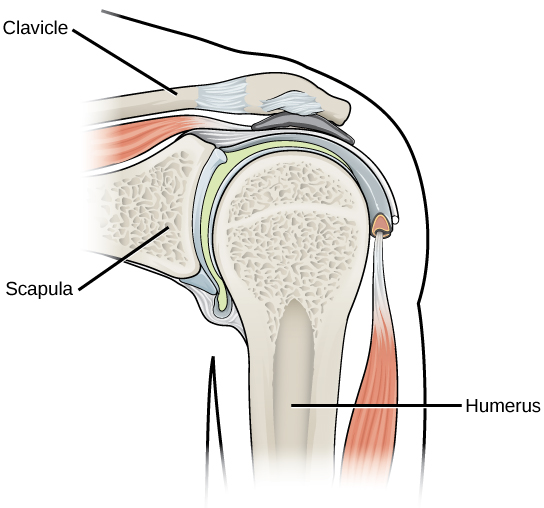 Illustration shows that the ball-shaped end of the humerus fits into the socket in the shoulder joint.