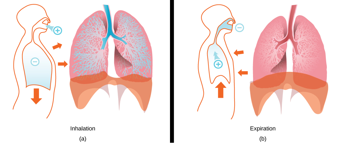 Part a shows expanded lungs with alveoli filled with air during inhalation. The diaphragm is pulled downward, and the muscles of the chest wall are bulled outward. Part b shows collapsed lungs during expiration. The diaphragm is pushed upward, and the chest cavity muscles are pushed inward.