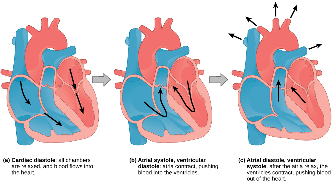 Illustration A shows cardiac diastole. The cardiac muscle is relaxed, and blood flows into the heart atria and into the ventricles. Illustration B shows atrial systole; the atria contract, pushing blood into the ventricles, which are relaxed. Illustration C shows atrial diastole; after the atria relax, the ventricles contract, pushing blood out of the heart.