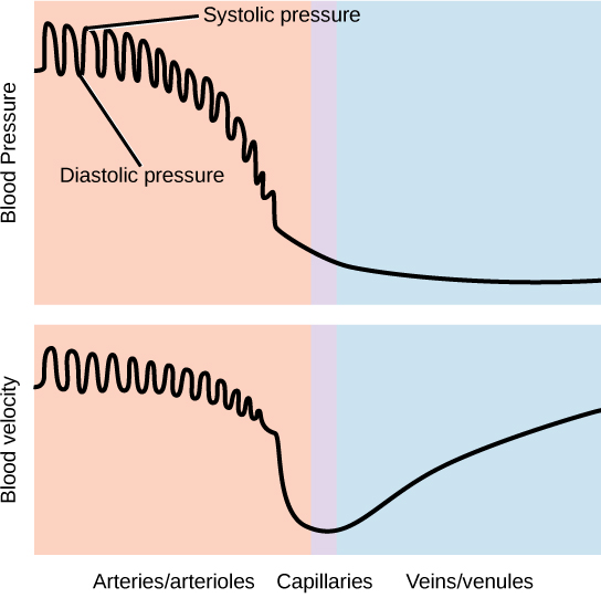 Graph A shows blood pressure, which starts high in the arteries and gradually drops as blood passes through the capillaries and veins. Blood velocity drops gradually in the arteries, then precipitously in the capillaries. Velocity increases as blood enters the veins. In the arteries, both blood pressure and velocity fluctuate to a higher level during diastole and a lower level during systole.