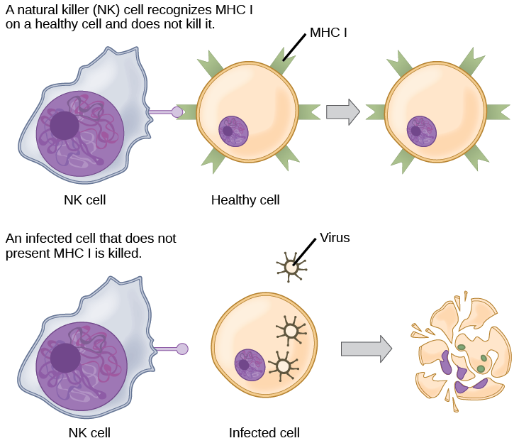 Healthy, uninfected cells present M H C I on their surface. A natural killer cell recognizes the M H C I and does not kill the cell. An infected cell that does not produce M H C I is killed.