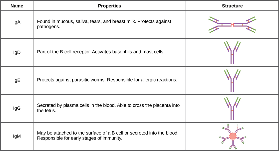 Table shows the structure and function of the five types of immunoglobulins: upper case I lower case g upper case A, and upper I lower g upper D, and upper I lower g upper E, and upper I lower g upper G and upper I lower g upper M. I g D, and I g A and I g G all have a Y shaped structure. I g D is part of the B cell receptor, and activates basophils and mast cells. I g E protects against parasitic worms, and is responsible for allergic reactions. I g G is secreted by plasma cells in the blood, and is able to cross the placenta into the fetus. I g A consist of two Y shaped structures connected at their trunk. It is found in mucous, saliva, tears and breast milk, and protects against pathogens. I g M consists of five Y shaped structures connected to a pentagram, with the top of the Ys facing out. It may be attached to the surface of B cells or secreted in the blood, and is responsible for the early stages of immunity.