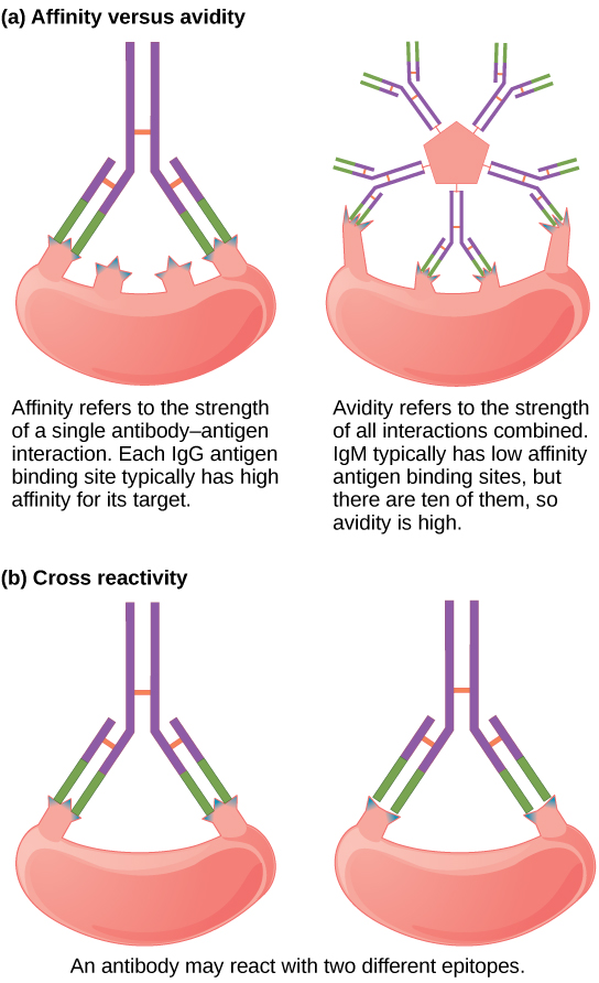 Part A compares affinity and avidity. Affinity refers to the strength of a single antibody antigen interaction. Each I g G antigen-binding site typically has high affinity for its target. Avidity refers to the strength of all interactions combined, I g M typically has low affinity antigen binding sites, but there are ten of them so avidity is high. Part B describes cross reactivity, a situation in which an antibody reacts with two different epitopes.