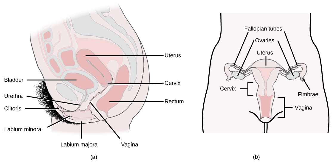 Side and front views of female reproductive organs are shown. The vagina is wide at the bottom, and narrows into the cervix. Above the cervix is the uterus, which is shaped like a triangle pointing down. Fallopian tubes extend from the top sides of the uterus. The Fallopian tubes curve back in toward the uterus, and end in fingerlike appendages called fimbriae. The ovaries are located between the fimbriae and the uterus. The urethra is located in front of the vagina, and the rectum is located behind. The clitoris is a structure located in front of the urethra. The labia minora and labia majora are folds of tissue on either side of the vagina.