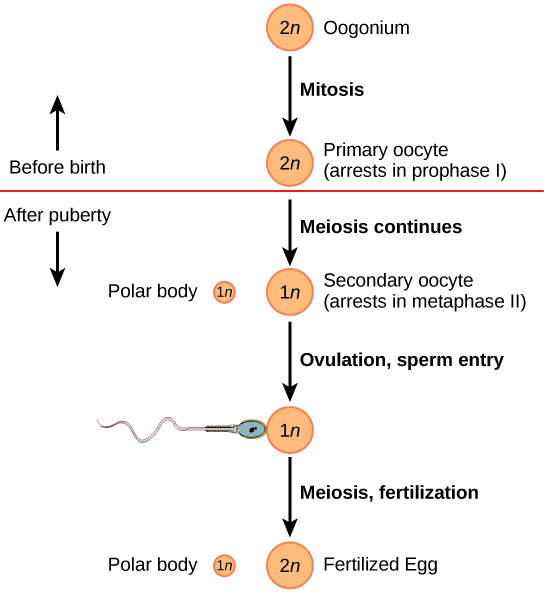 Oogenesis begins when the 2 n oogonium undergoes mitosis, producing a primary oocyte. The primary oocytes arrest in prophase I before birth. After puberty, meiosis of one oocyte per menstrual cycle continues, resulting in a 1 n secondary oocyte that arrests in metaphase I I and a polar body. Upon ovulation and sperm entry, meiosis is completed and fertilization occurs, resulting in a polar body, shown as 1 n, and a fertilized egg, 2 n.