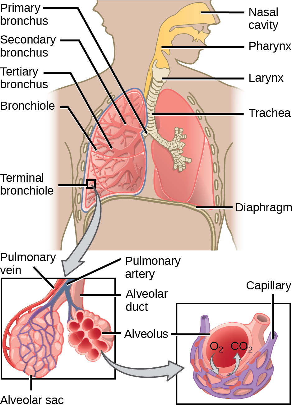 The illustration shows the flow of air through the human respiratory system. The nasal cavity is a wide cavity above and behind the nostrils, and the pharynx is the passageway behind the mouth. The nasal cavity and pharynx join and enter the trachea through the larynx. The larynx is somewhat wider than the trachea and flat. The trachea has concentric, ring-like grooves, giving it a bumpy appearance. The trachea bifurcates into two primary bronchi, which are also grooved. The primary bronchi enter the lungs, and branch into secondary bronchi. The secondary bronchi in turn branch into many tertiary bronchi. The tertiary bronchi branch into bronchioles, which branch into terminal bronchioles. Each terminal bronchiole ends in an alveolar sac. Each alveolar sac contains many alveoli clustered together, like bunches of grapes. The alveolar duct is the air passage into the alveolar sac. The alveoli are hollow, and air empties into them. Pulmonary arteries bring deoxygenated blood to the alveolar sac (and thus appear blue), and pulmonary veins return oxygenated blood (and thus appear red) to the heart. Capillaries form a web around each alveolus. The diaphragm is a membrane that pushes up against the lungs.