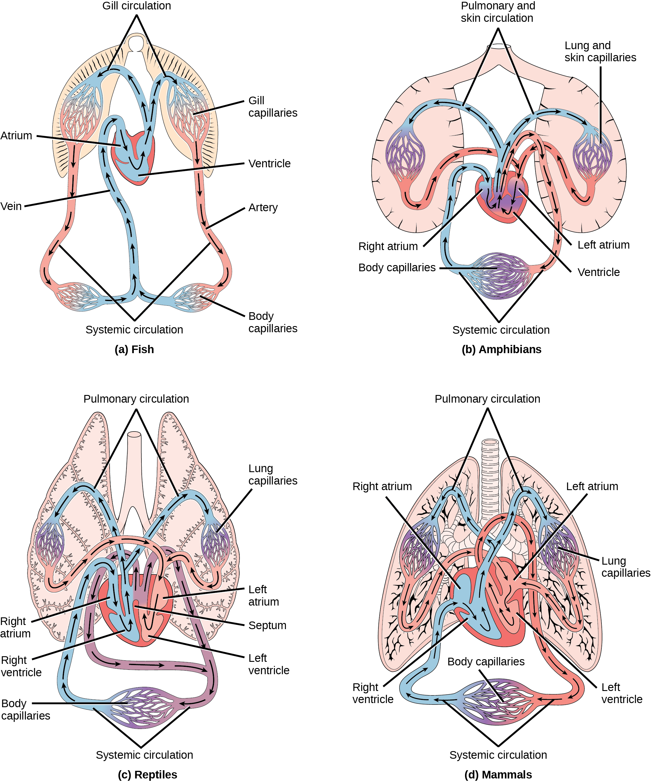 Illustration A shows the circulatory system of fish, which have a two-chambered heart with one atrium and one ventricle. Blood in systemic circulation flows from the body into the atrium, then into the ventricle. Blood exiting the heart enters gill circulation, where gases are exchanged by gill capillaries. From the gills blood re-enters systemic circulation, where gases in the body are exchanged by body capillaries. Illustration B shows the circulatory system of amphibians, which have a three-chambered heart with two atriums and one ventricle. Blood in systemic circulation enters the heart, flows into the right atrium, then into the ventricle. Blood leaving the ventricle enters pulmonary and skin circulation. Capillaries in the lung and skin exchange gases, oxygenating the blood. From the lungs and skin blood re-enters the heart through the left atrium. Blood flows into the ventricle, where it mixes with blood from systemic circulation. Blood leaves the ventricle and enters systemic circulation. Illustration C shows the circulatory system of reptiles, which have a four-chambered heart. The right and left ventricle are separated by a septum, but there is no septum separating the right and left atrium, so there is some mixing of blood between these two chambers. Blood from systemic circulation enters the right atrium, then flows from the right ventricle and enters pulmonary circulation, where blood is oxygenated in the lungs. From the lungs blood travels back into the heart through the left atrium. Because the left and right atrium are not separated, some mixing of oxygenated and deoxygenated blood occurs. Blood is pumped into the left ventricle, then into the body. Illustration D shows the circulatory system of mammals, which have a four-chambered heart. Circulation is similar to that of reptiles, but the four chambers are completely separate from one another, which improves efficiency.