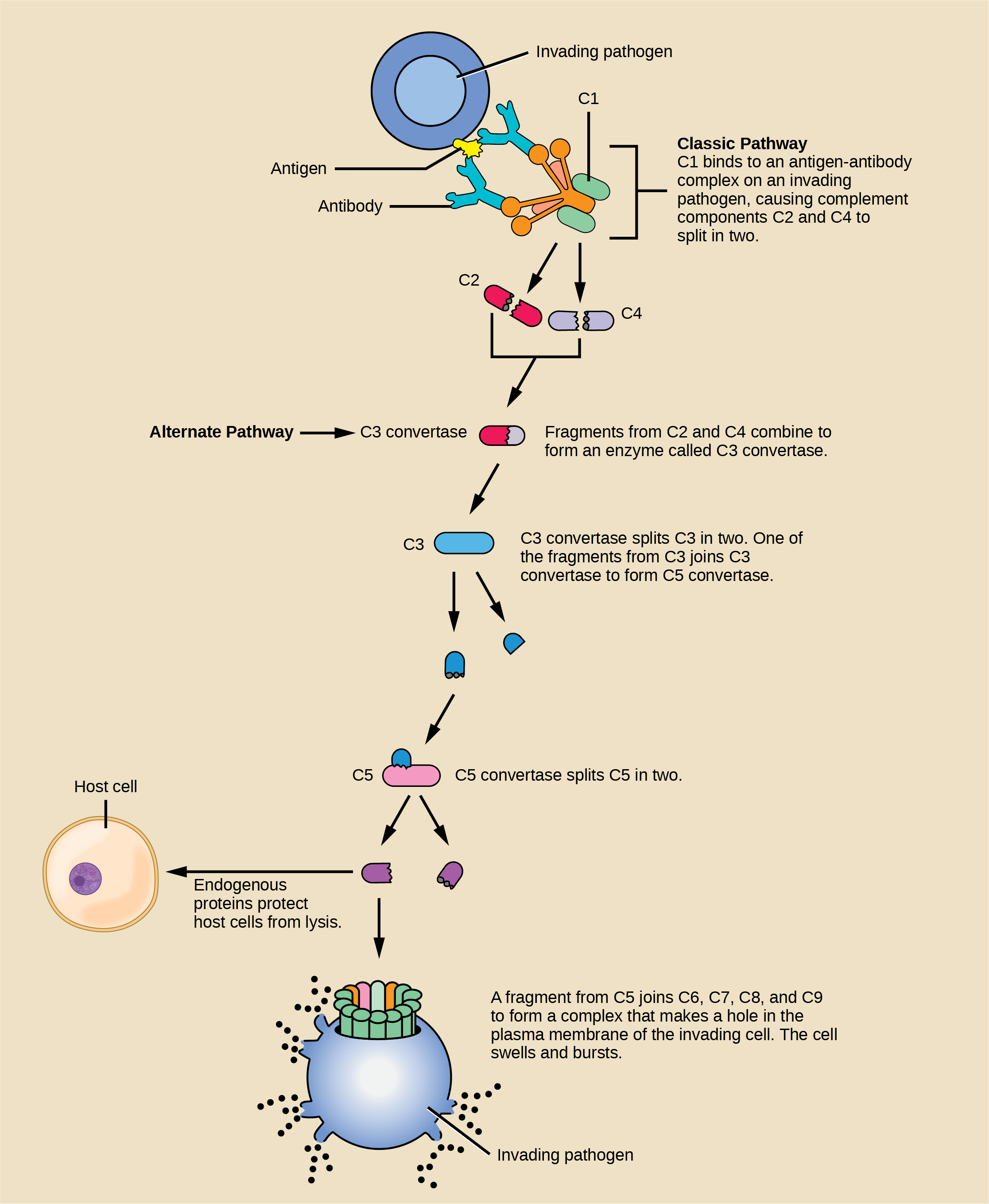 Illustration shows an invading pathogen with an antigen on its surface. In the classic pathway for complement activation, host antibodies bind the antigen, and C 1 binds the antibody. The C 1-antibody complex causes C 2 and C 4 each to split in two. Fragments from C 2 and C 4 each joins together to form an enzyme called C 3 convertase. C 3convertase splits C 3 in two. One of the fragments from C 3 joins C 3 convertase to form C 5 convertase. C 5 convertase splits C 5 in two. A fragment from C 5 joins C 6, C 7, C 8, and C 9 to form a complex that makes a hole in the plasma membrane for the invading cell. The cell swells and bursts. In the alternative pathway, C 3 convertase spontaneously splits C 3 in two and the rest of the pathway proceeds the same as the classic pathway. Host cells are protected from complement by the presence of endogenous proteins.